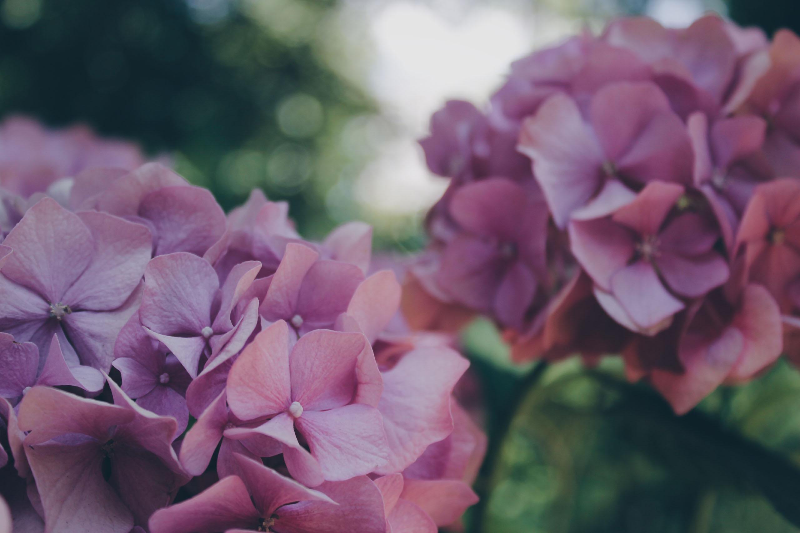 Purple Hydrangeas - Neal Landscape and Irrigation Company - Savannah, GA